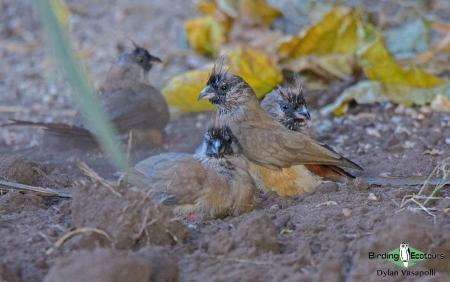 Red-backed Mousebird     Adult     Tundavala, Angola     June 2018