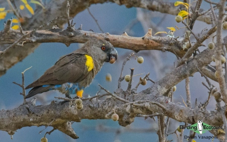 Ruppell's Parrot     Adult     Namibe, Angola     May 2018