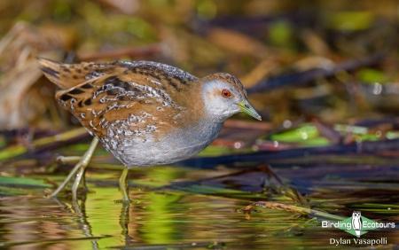 Baillon's Crake  |  Adult  |  Nalsarovar Bird Sanctuary, Gujarat  |  Feb 2020