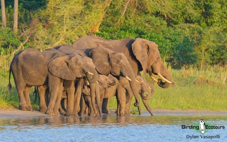 African Elephant  |  Adults  |  Liwonde National Park, Malawi  |  Nov 2017