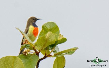 Anchieta's Sunbird  |  Adult  |  Dzalanyama Forest Reserve, Malawi  |  Dec 2015