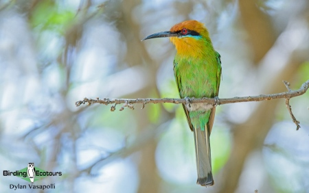 Bohm's Bee-eater  |  Adult  |  Liwonde National Park, Malawi  |  Nov 2015