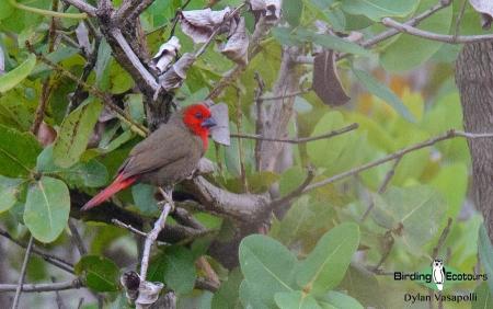 Lesser Seedcracker  |  Adult male  |  Dzalanyama Forest Reserve, Malawi  |  Nov 2017