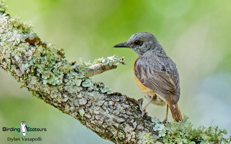 Miombo-Rock-Thrush  |  Adult  |  Dzalanyama Forest Reserve, Malawi  |  Nov 2015