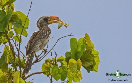 Pale-billed Hornbill  |  Adult  |  Dzalanyama Forest Reserve, Malawi  |  Nov 2017