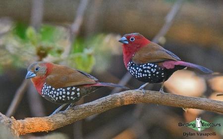 Red-throated Twinspot  |  Adults  |  Lilongwe, Malawi  |  Nov 2017