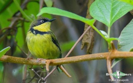 Yellow-throated Apalis  |  Adult  |  Zomba Mountain, Malawi  |  Nov 2015