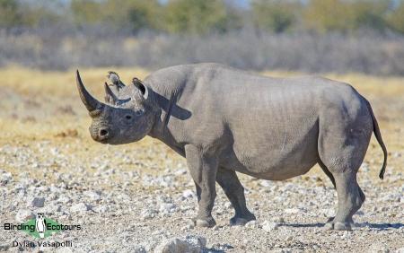 Black Rhino  |  Adult  |  Etosha National Park  |  Jul 2017