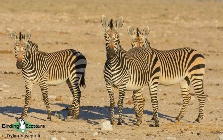 Hartmann's Mountain Zebra  |  Adults  |  Etosha National Park  |  Jul 2017