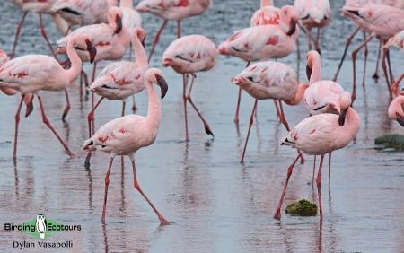Lesser Flamingo  |  Adults  |  Walvis Bay  |  Dec 2018