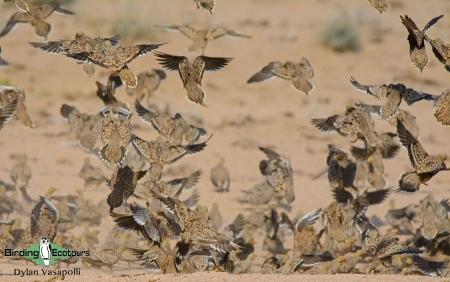 Namaqua Sandgrouse  |  Adults  |  Brandberg  |  Dec 2018