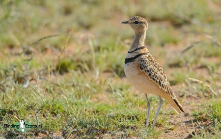 Double-banded Courser  |  Adult  |  Kimberley  |  Apr 2019
