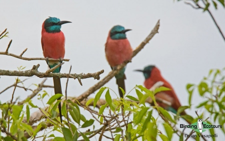 Northern Carmine Bee-eater     Adults     Murchison Falls National Park     Jul 2018