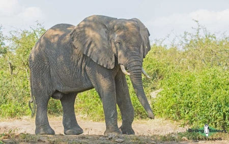 African Elephant     Adult male     Queen Elizabeth National Park     Jul 2018