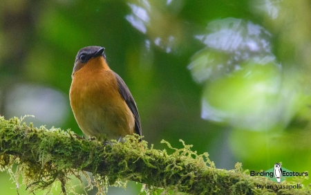 White-bellied Robin-Chat     Adult     Bwindi Impenetrable National Forest     Jul 2018
