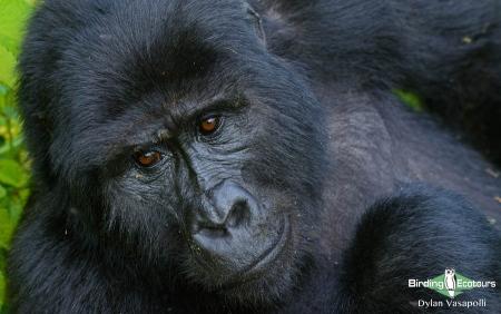 Eastern (Mountain) Gorilla     Adult female     Bwindi Impenetrable National Forest     Jul 2018