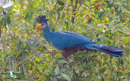 Great Blue Turaco     Adult     Bwindi Impenetrable National Forest     Jul 2018